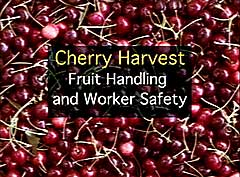 Cherry Harvest: Fruit Handling and Worker Safety (DVD)