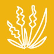 Biology and Management of Johnsongrass (Sorghum halepense)